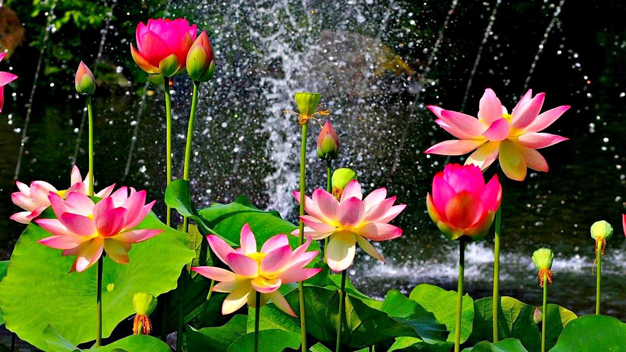 Лотос розовый - TheFlowers