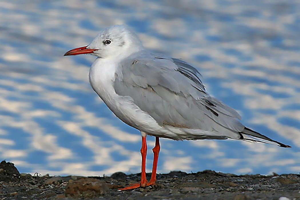 последователи объединялись птицы с красным клювом и лапами фото уделял