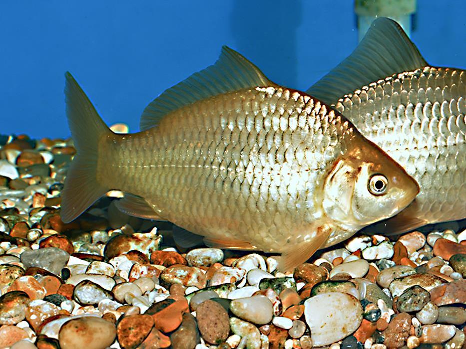 пышные смотреть картинки рыбы карась отличием является