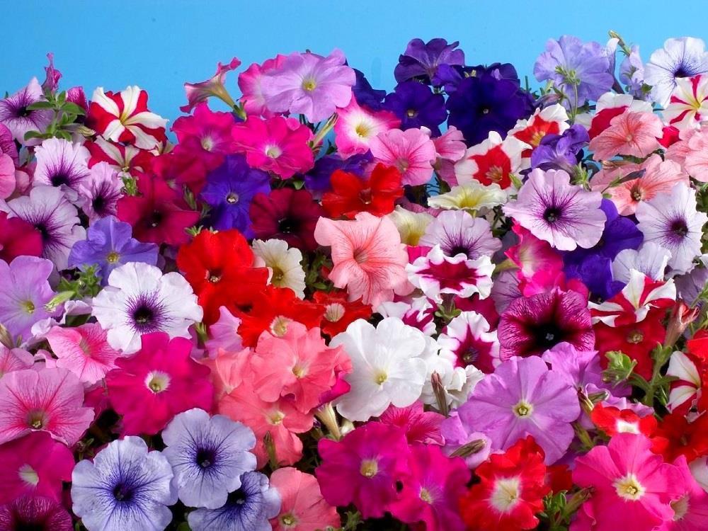 Петуния цветы картинки