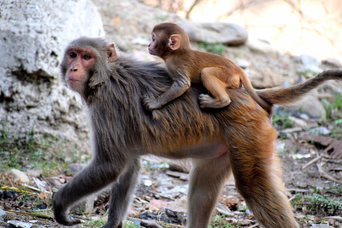 переводом картинки обезьяны и детеныша знаем, что