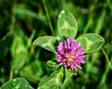 Растение клевер