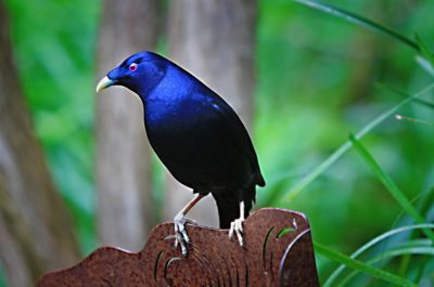 Птица — шалашник