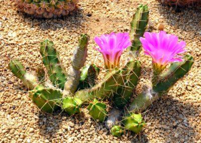 Растение кактус