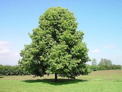 Дерево липа