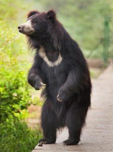 Медведь Губач