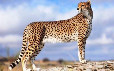 Животное гепард — самое быстрое наземное животное