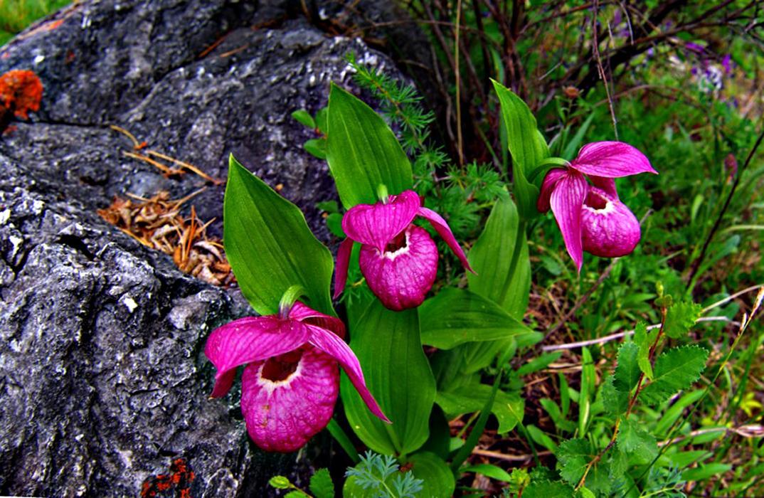 Цветок кукушкин башмачок
