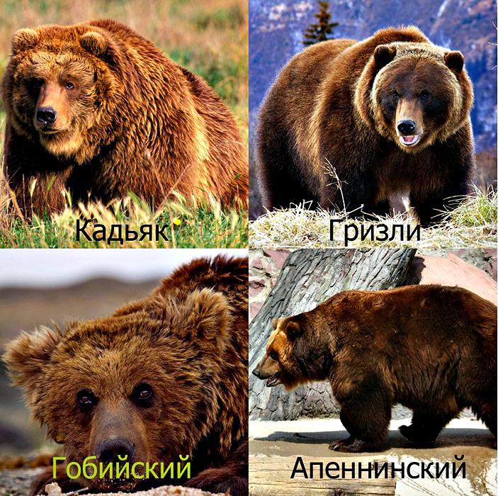 фото медведя бурого