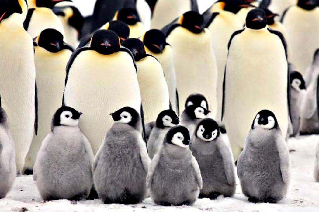 Императорский пингвин птенцы