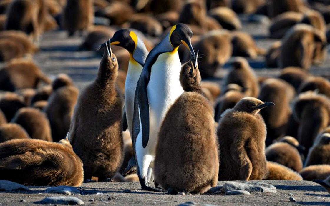 Королевский пингвин птенцы
