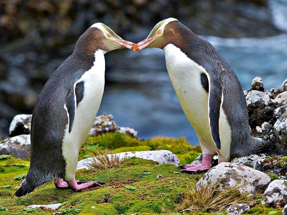 Великолепный пингвин или Желтоглазый