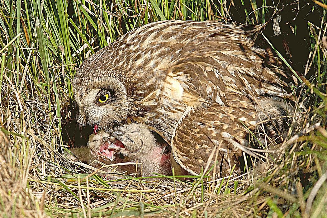 Птица Сова размножение