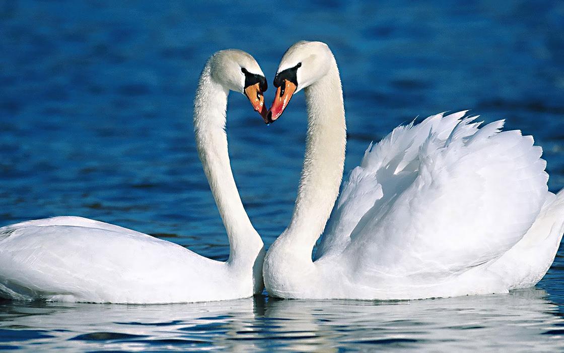 Птица Лебедь пара