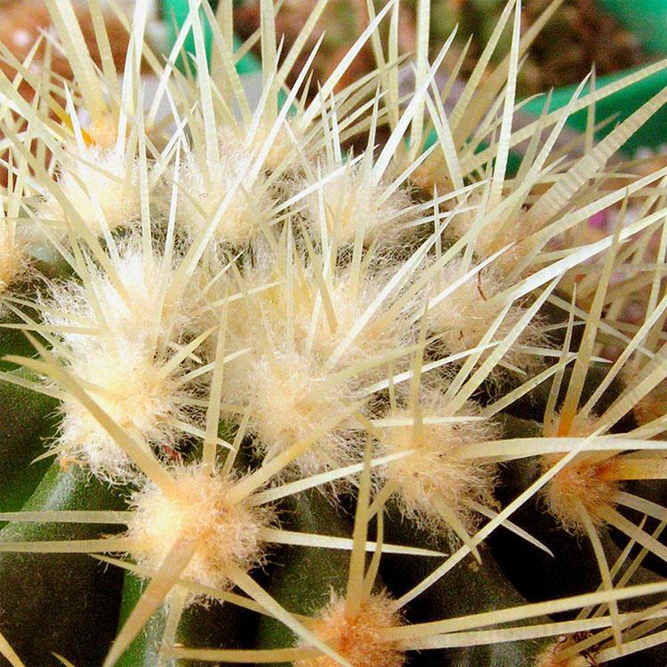 Кактусовые растения