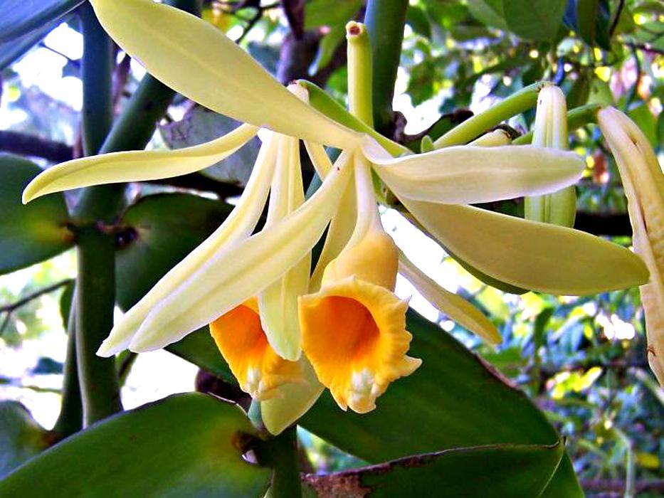 Ванильная орхидея в домашних условиях уход 462