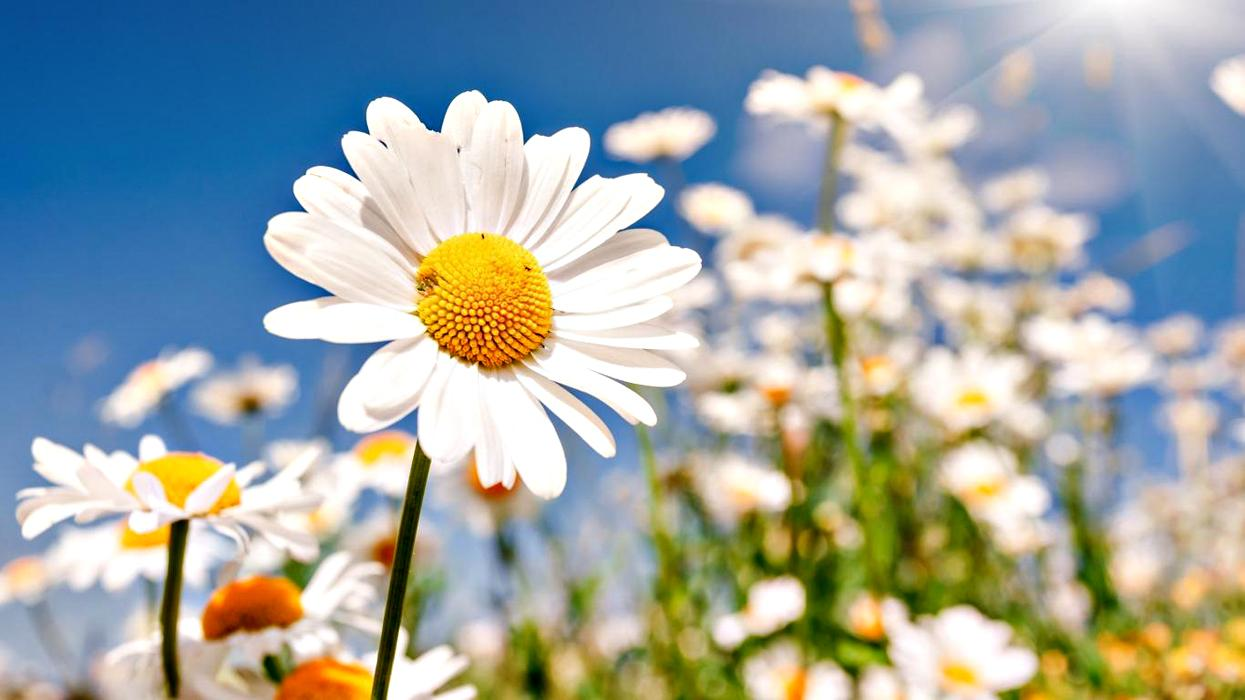 Фото цветов ромашек в хорошем качестве