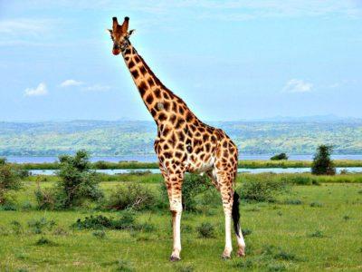 Животное жираф — самое высокое животное в мире