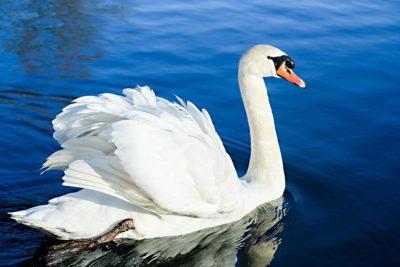 Птица Лебедь