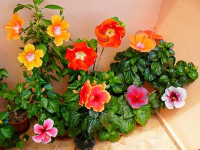 Растение Гибискус