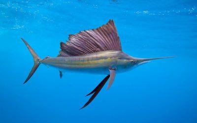 Рыба парусник — самая быстроплавающая рыба