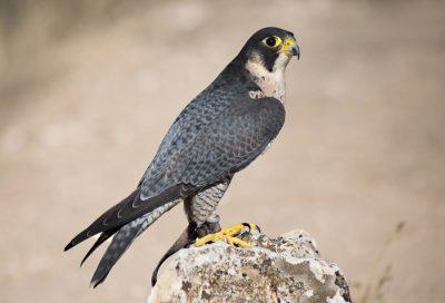 Птица Сапсан — самая быстрая птица в мире