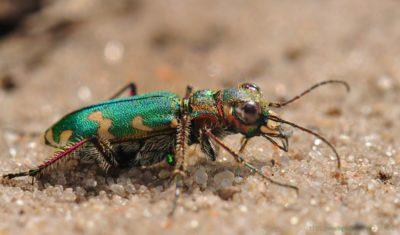 Жук-скакун — самое быстрое насекомое в мире