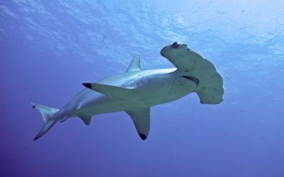 Рыба-молот или Акула-молот