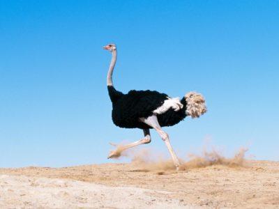 Птица Страус — это самая большая птица в мире