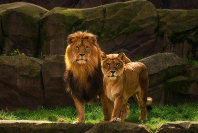 Животное Лев