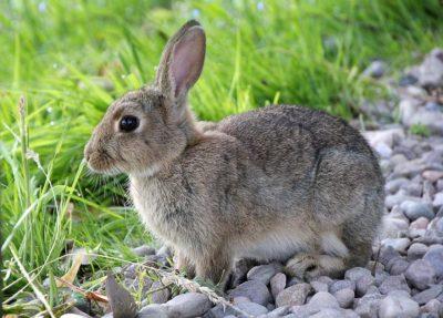 Животное заяц